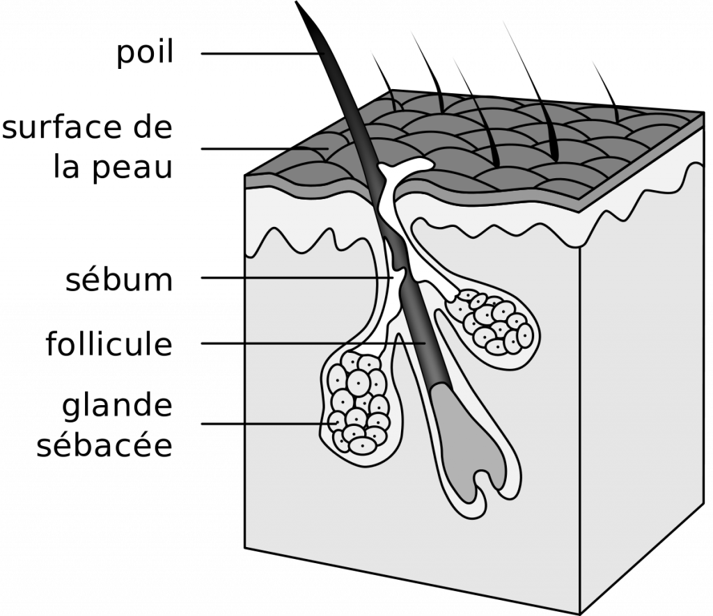 glande sébacée